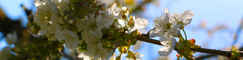 Apfelblte
